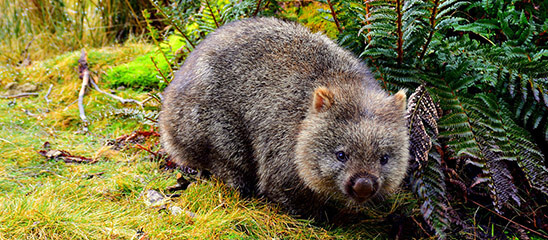 7 Awesome facts about wombats