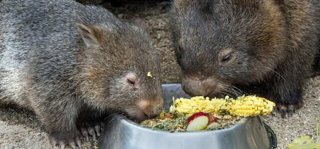 100 cube-shaped poops (a day!) Mystery of wombat's poop solved!
